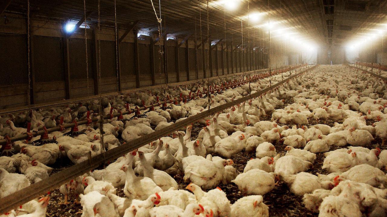 Resultado de imagem para Um investigador secreto desvenda as crueldades das fazendas industriais